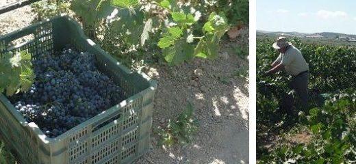 la vendimia en España