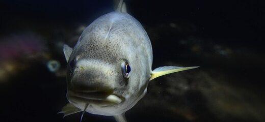 El bacalao uno de los pescados más consumidos en España