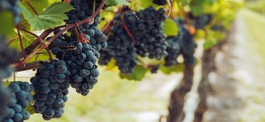 Cuáles son los orígenes del vino